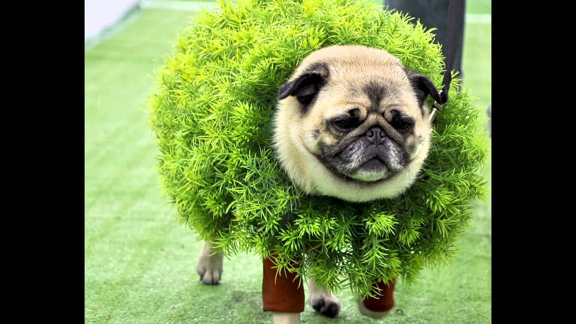 Pugs Are Adorable No Matter What But Theyre Even More Precious